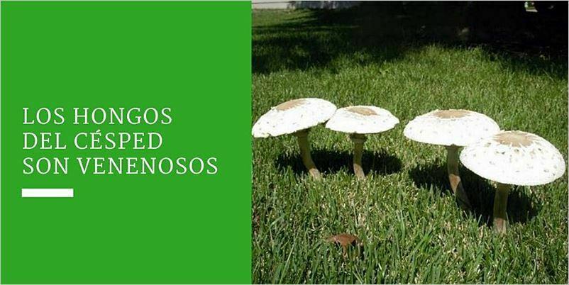 ¿Los hongos del césped son venenosos?