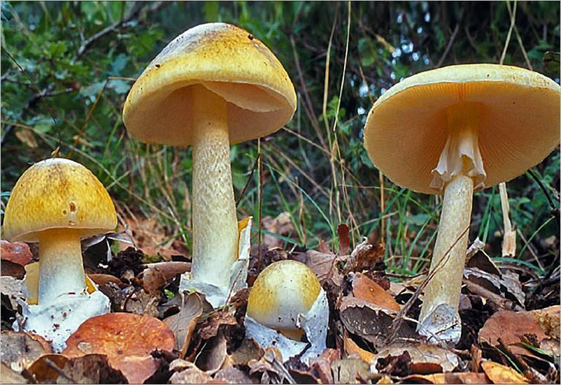 Los hongos del césped son venenosos